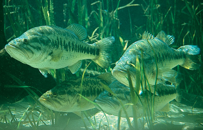 Spotted Sunfish Largemouth Bass
